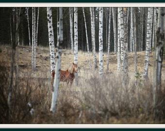 The wild horse in Kananaskis Country