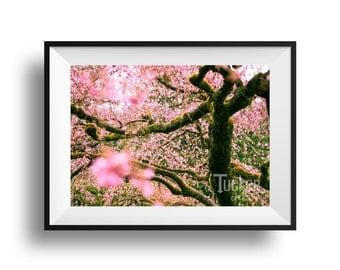 Cherry Blossom Tree - Portland, Oregon {pink flowers blooms trees photo photography japanese garden print}