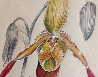 Orchid Phragmipedium Sorcerer's Apprentice, original illustration