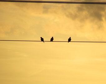 Pigeons Three