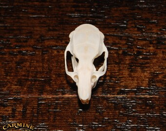 Real Domestic Rat Skull