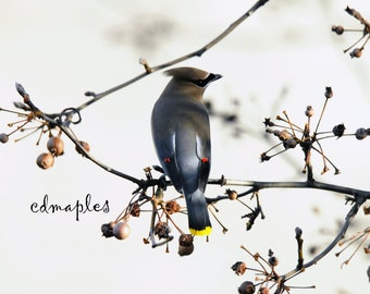 Cedar Waxwing, Bird Photo, Wildlife Photography, Nature Photos, Prints, Colo