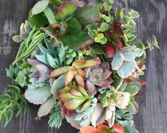 15 Succulent Cuttings