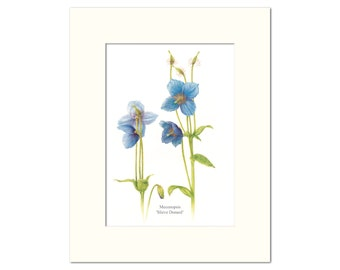 Meconopsis Botanical Print by Heather Raeburn