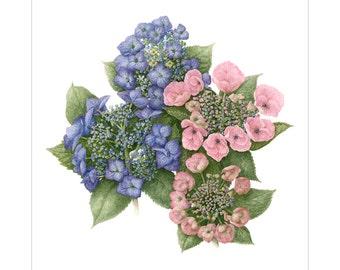 Hydrangea cultivars Giclee Print by Heather Raeburn