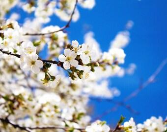 Cherry Blossoms photograhy print