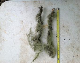 2 eight to ten inch Oregon Douglas Fir Lichen sticks