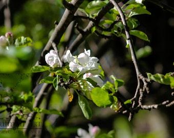 Apple Tree White Flower