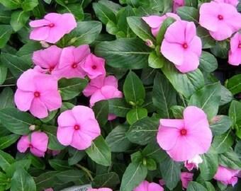 40+ Pink Vinca Periwinkle Flower Seeds
