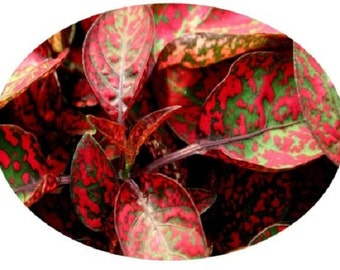 25+ Hypoestes Splash Red Polka-Dot Plant / Shade-Loving / Annual Flower Seeds