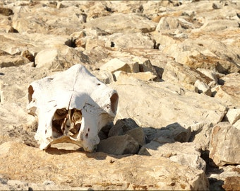 Sun Bleached Skull and Rocks