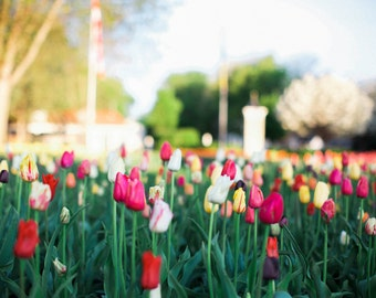 Tulips - multicolored