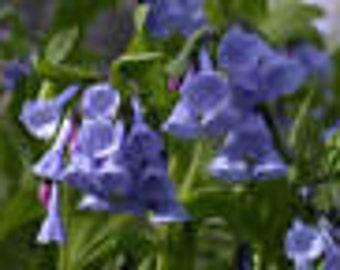 20 Virginia Bluebell flower root- Shade Lover (Mertensia)
