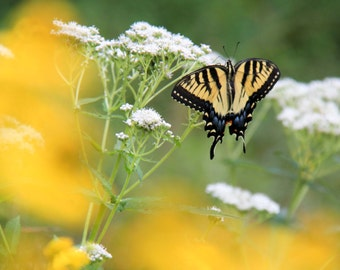 Easter Tiger Swallowtail, Yellow Butterfly, Fine Art Photography, Nature Print