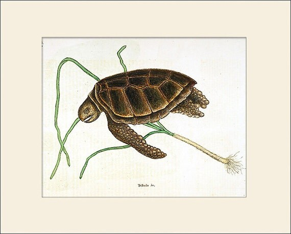 Green Turtle Print, Mark Catesby, Art Print with Mat, Antique Natural History Illustration, Wall Art, Wall Decor, Vintage Print