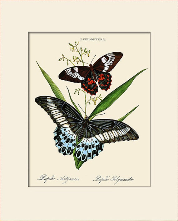 Butterfly Art Print with Mat, Plate 20, Donovan, Papilio Heliacon, Natural History Illustration, Wall Art, Wall Decor, Butterfly Print