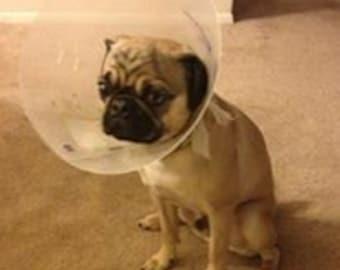 The Most Sad Pug