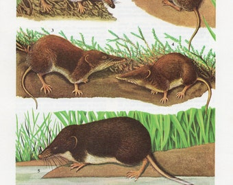 1960's Shrew Print, Shrew, Shrews, Shrew Print, Shrew Lithograph, Shrew Plate, Animal Print, Animal Lithograph, Animal Plate, Animals