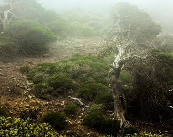 Juniper Trees | Forest | Green Yellow | Mist | Fog | Fine Art Photography | Photo | polychromatophil | Canary Islands | Mystic | Calming