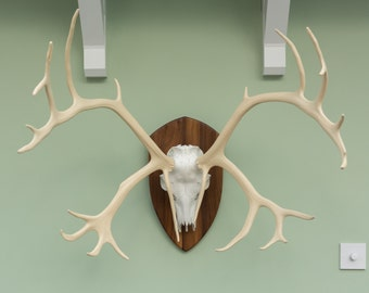 Caribou skull with Antlers