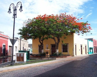 Arbol Flamboyanes. The Flamboyant Tree in Merida, Yucatan, Mexico.