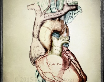 Anatomical Heart Art, Oddity, Medical Anatomy Print, Classical Science, Surreal Decor, Scientific Chart, 5x5 inch Fine Art Photography Print