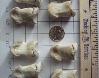8 Elk Short Pasterns Phalanx Foot Bones Taxidermy Wildlife Craft Art Supply Real Animal Digital Bone Phalanges