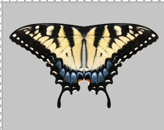 Over 8 Feet Wingspan - Large Yellow Tiger Swallowtail Butterfly Wing Fabric Panel for Costume