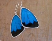 Real Butterfly Wing Earrings - Wing shaped Papilio Ulysses  - Blue and Black.  Great gift, entomology, science, bugs, nature, organic, green