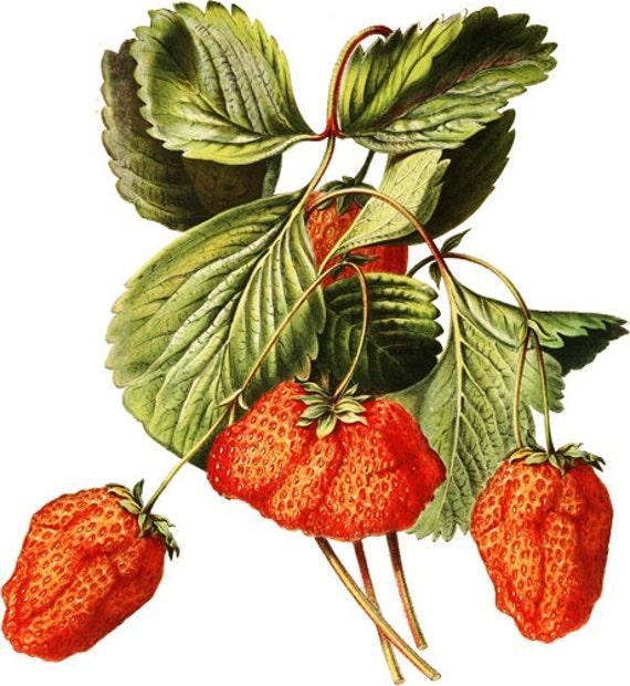 strawberries fruit png jpg clip art Digital image download graphics food gardening art printables