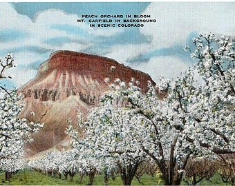 Colorado Vintage Postcard - A Peach Orchard in Bloom and Mount Garfield (Unused)