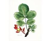 Vintage Pistacio Tree Illustration - Traditional Botanical Natural History Giclee Art Print
