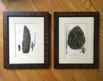framed pinecones antique engravings from 1819 original antique prints wood frame botanical prints framed and ready to hang