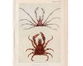 c. 1907 ANTIQUE CRAB lithograph - original antique print - sea life marine beach ocean - spider crabs