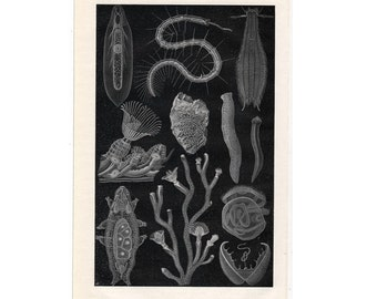 1894 ANTIQUE SEA LIFE under water fauna original antique sea life ocean print