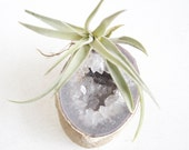 Air Plant on Quartz Geode, Substantial Size, Crystal Garden,  Ready To Ship, Gift For Her, Gardener, Desk Accessory