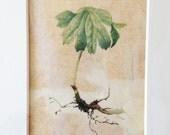 Original Botanical Watercolor on vellum of Mayapple