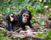 Cute Baby Chimpanzee Phot...