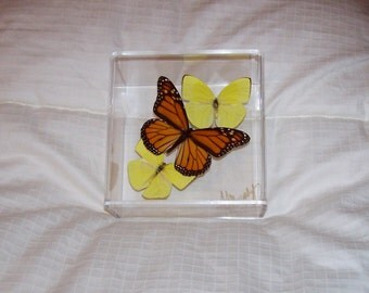 Real Monarch Butterfly With Lemon Yellow Accents