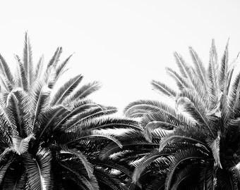 "Pam Tree Art, Black And White, Photography, Palm Trees, Large Wall Art, California, Black And White Art, Apartment Decor ""California Palms"""