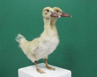 2 Headed Fluffy Yellow Duckling Real Bird Taxidermy Mount Sideshow Gaff