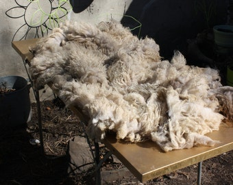Shetland Raw Yearling Whole Fleece