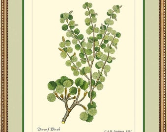 Dwarf Birch - Vintage Botanical print reproduction 372