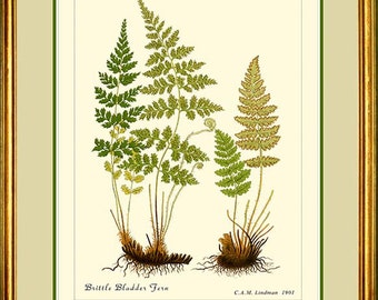 BRITTLE BLADDER & Rusty Woodsia Fern - Vintage Botanical print reproduction 503