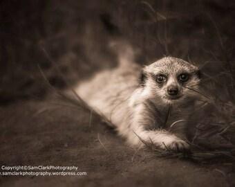 Baby Meerkat, safari animal, cute baby Meerkat