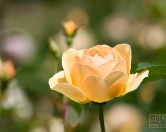 Yellow pastel roses, Nature photography, Dreamy Yellow Rose, Flower print, Yellow rose petals, Romantic Rose garden, Romantic home décor