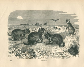 1889 Vintage Print Viscachas, Black and White Engraving Rodent