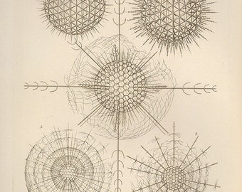 Original Vintage Ernst Haeckel X 1960s bookplate print chart wall print art antique color illustration lithograph ocean sea creature