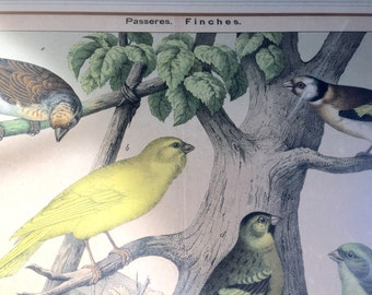 Colored Engraving of Finches
