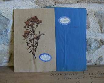 Antique French herbarium real dried flower botanical specimen Hypericinees
